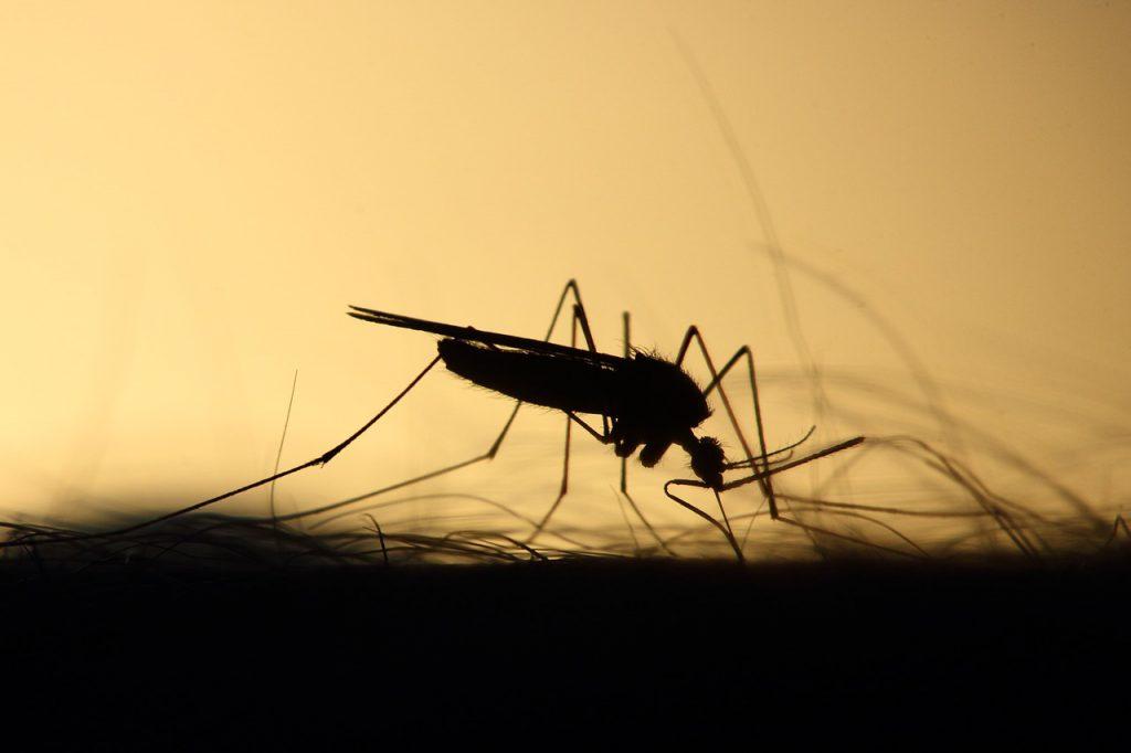 יתוש אוכל
